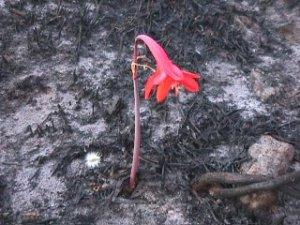 burnflower